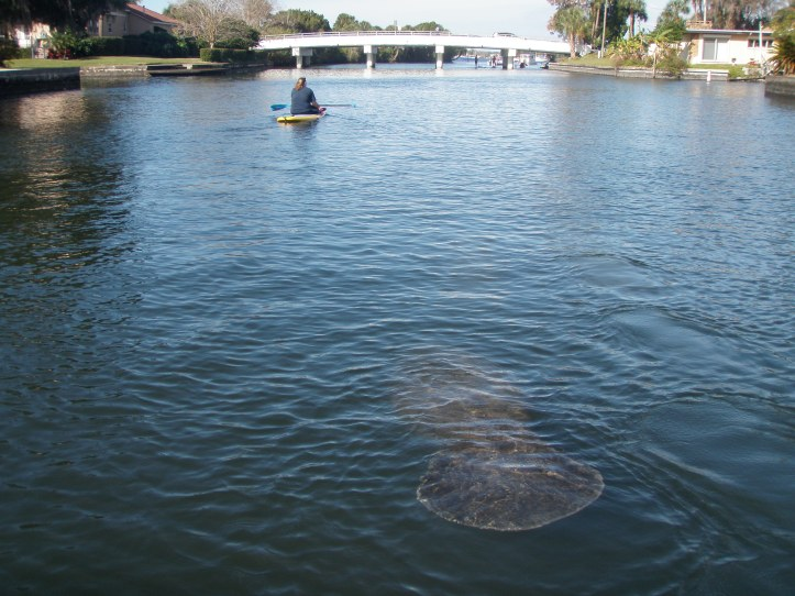 Paddleboarding with manatees in Crystal River